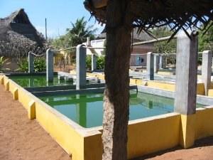 Spiruline d'Auroville - Inde
