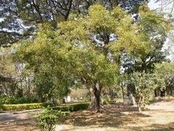 Neem d'Auroville
