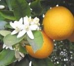Orange - Huile Essentielle