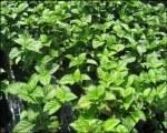 Patchouli - Huile Essentielle Certifiée Bio